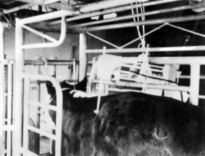 Beef scanner being used on cattle