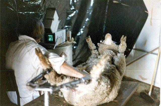 Doug Fowler, scanning sheep (1982)